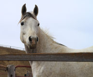 Arabian horse looking alert by rustic fence Royalty Free Stock Photography