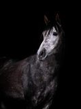 Arabian horse in low key Royalty Free Stock Images