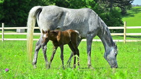 Arabian horse mare with foal. Arabian horse mare with 4 days old foal stock video