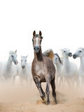 Arabian horse mare Royalty Free Stock Photography