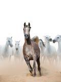 Arabian horse mare Royalty Free Stock Photography
