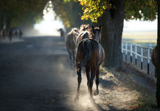 Arabian horse in the misty light Royalty Free Stock Images