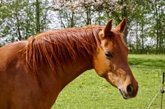 Arabian Horse on Pasture, Natural Horse, Beautiful horse head. Arabian horse on pasture, Chestnut Horse on Pasture, Happy Horse, Beautiful Horse Pasture, Natural Stock Image