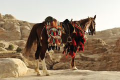 Arabian horse in Petra Stock Photography