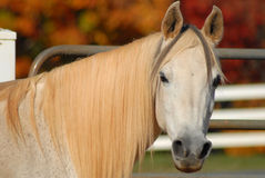 Arabian horse portrait Royalty Free Stock Photography