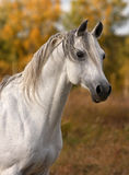 Arabian horse portrait Stock Photos