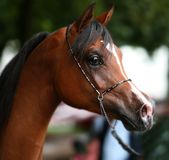 Arabian horse portrait. The young arabian horse portrait Royalty Free Stock Photos