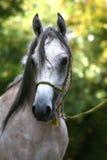 Arabian horse portrait. The young arabian horse portrait Royalty Free Stock Image