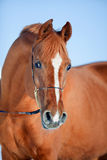 Arabian horse portrait Royalty Free Stock Photography