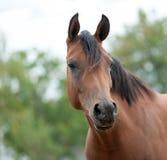 Arabian horse. Portrait close up stock images