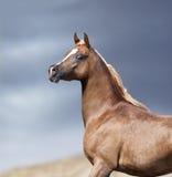 Arabian horse portrait in desert Stock Image