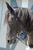 Arabian Horse Stock Images