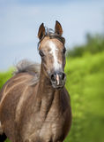 Arabian horse portrait in motion Stock Image