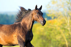 Arabian horse portrait in motion. Stock Photo