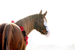 Arabian horse portrait in winter Royalty Free Stock Images