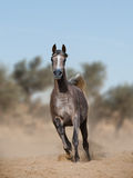 Arabian horse in prairies Royalty Free Stock Images