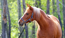 Arabian horse profile Royalty Free Stock Photo
