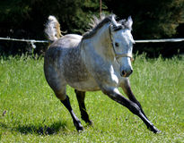 Arabian Horse Royalty Free Stock Images