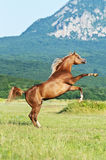 Arabian horse rearing on the meadow. Red arabian horse rearing on the meadow Royalty Free Stock Photos