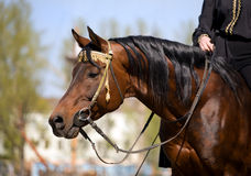 Arabian horse with rider. Arabian bay horse with rider in city Stock Photography