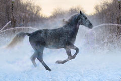 Arabian Horse rides in the winter woods Royalty Free Stock Photo