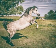 Arabian horse is rising on summer nature Royalty Free Stock Photos