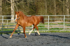 Arabian horse in round pen Royalty Free Stock Photos