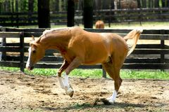 Arabian Horse Running. Arabian Horse Bucking and Playing Royalty Free Stock Photography