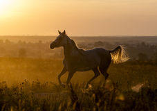 Arabian horse running Royalty Free Stock Photo