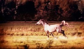 Arabian Horse running gallop at autumn field Royalty Free Stock Images