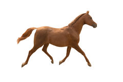 Arabian horse running. Purebred Arabian horse running isolated on white background Royalty Free Stock Image
