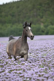 Arabian horse running in purple flowers Royalty Free Stock Photos