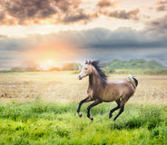 Arabian horse running on sunny meadow on sunset Stock Photography