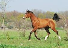 Arabian horse running trot on pasture stock photo
