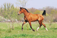 Arabian horse running trot on pasture Royalty Free Stock Images