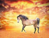 Arabian horse runs in the autumn field at sunset Stock Photos