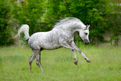 Arabian horse runs gallop on green background Royalty Free Stock Images
