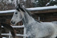 Arabian horse  runs  in the snow in the paddock royalty free stock photos