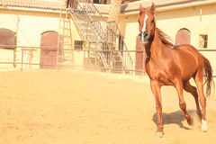 Arabian Horse in a sandy ranch royalty free stock image