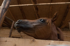 Arabian horse in the stable. Arabian chestnut horse in the stable looking curiously Royalty Free Stock Images