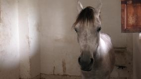 Arabian horse in stable. White Arabian horse resting in stable stock footage