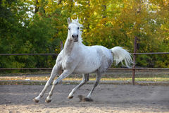Arabian horse stallion galloping in the paddock. Grey Arabian stallion galloping in the paddock Stock Images