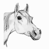 Arabian horse, stallion (head). Gray tone. Royalty Free Stock Photography
