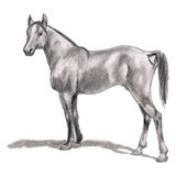 Arabian horse, stallion. Realistic figure. Drawing, sketch by hand in pencil. The Arab horse breed on a white background. Vector Royalty Free Stock Photography