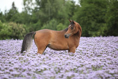 Arabian horse standing in purple flowers Royalty Free Stock Image