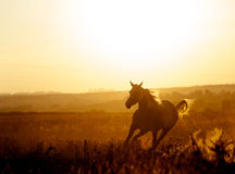 Arabian horse in sunset running free. With mane flowing Royalty Free Stock Photos