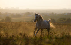 Arabian horse in sunset Royalty Free Stock Image