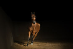 Arabian horse training Stock Images