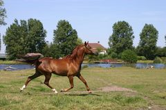 Arabian horse trot Stock Images