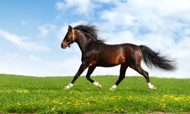 Arabian horse trots Royalty Free Stock Images